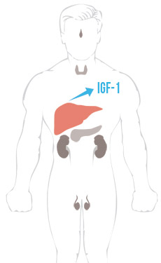 BodyHormones-IGF1