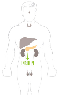 BodyHormones-Insulin